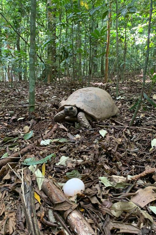 Jabuti com mata ao fundo e ovo em primeiro plano na foto