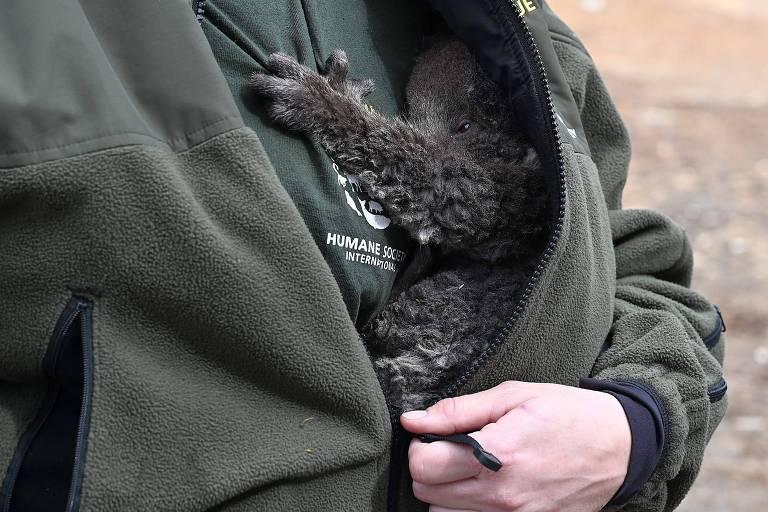 Cuidadora segura um filhote de coala resgatado neste mês na Ilha Canguru, na Austrália