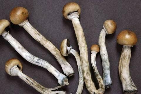 A psilocibina, ou 'cogumelos mágicos', recebeu uma permissão dos EUA para pesquisa clínica para usos médicos
