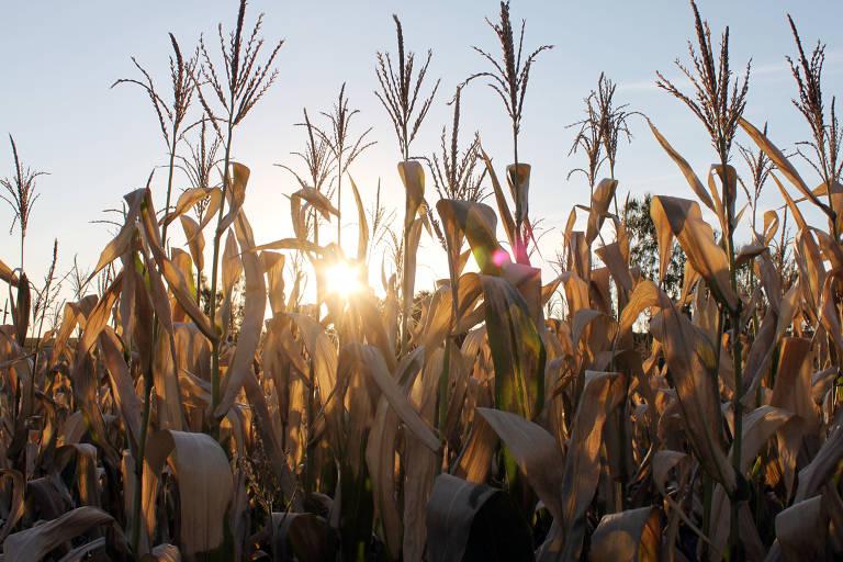Geada afeta lavoura de milho no norte do Paraná; milho está entre os produtos mais exportados pelo Brasil