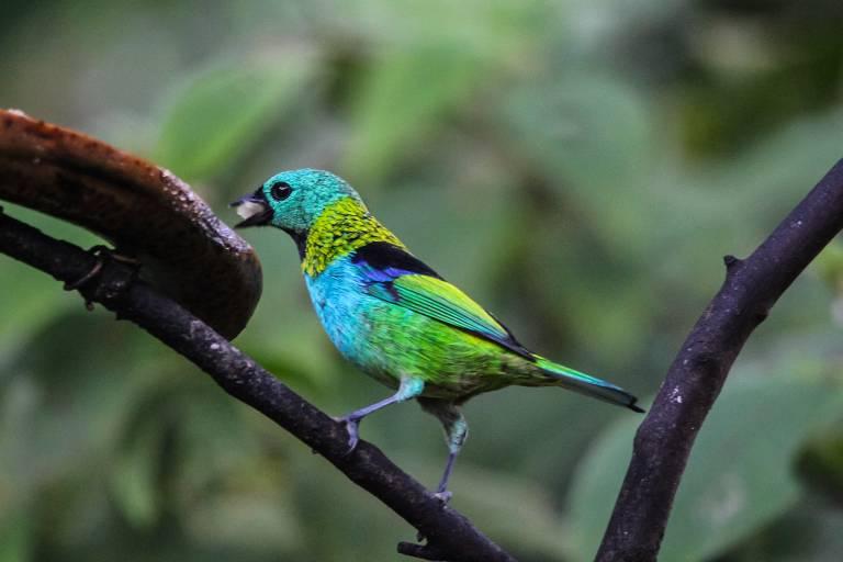 Pássaro saíra-sete-cores