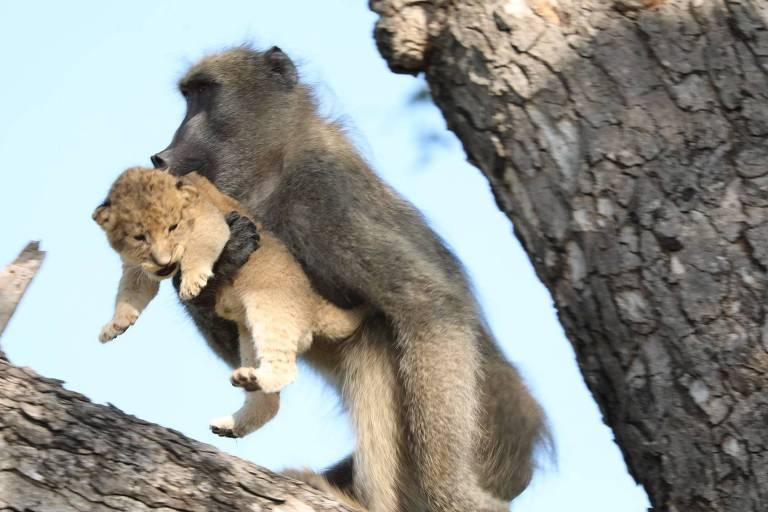 Babuíno e filhote de leão no Kruger National Park, África do Sul