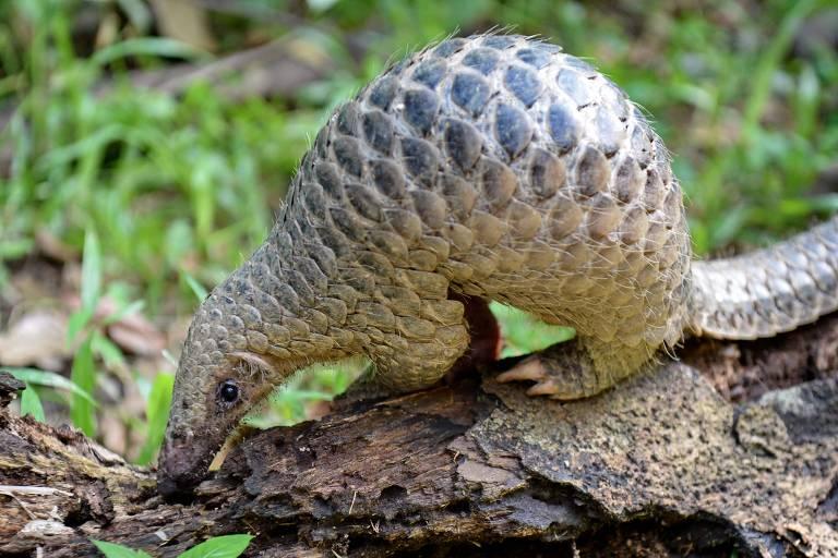 Pangolim cheira a terra. Tem a cabeça pequena, em formato alongado, corpo com escamas e garras nas patas, além de uma cauda.