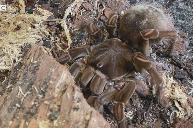 a mulher que tinha medo de aranhas e hoje dorme com 32 tarântulas