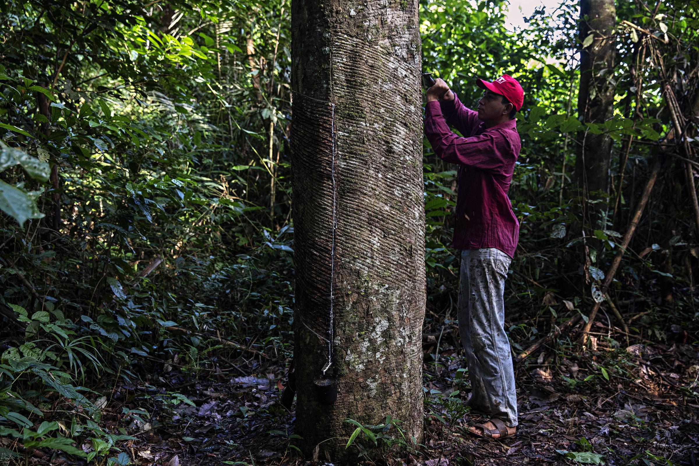 O seringueiro Rian Avevedo de Barros, 18, extrai látex no seringal Floresta, na Resex Chico Mendes, no Acre