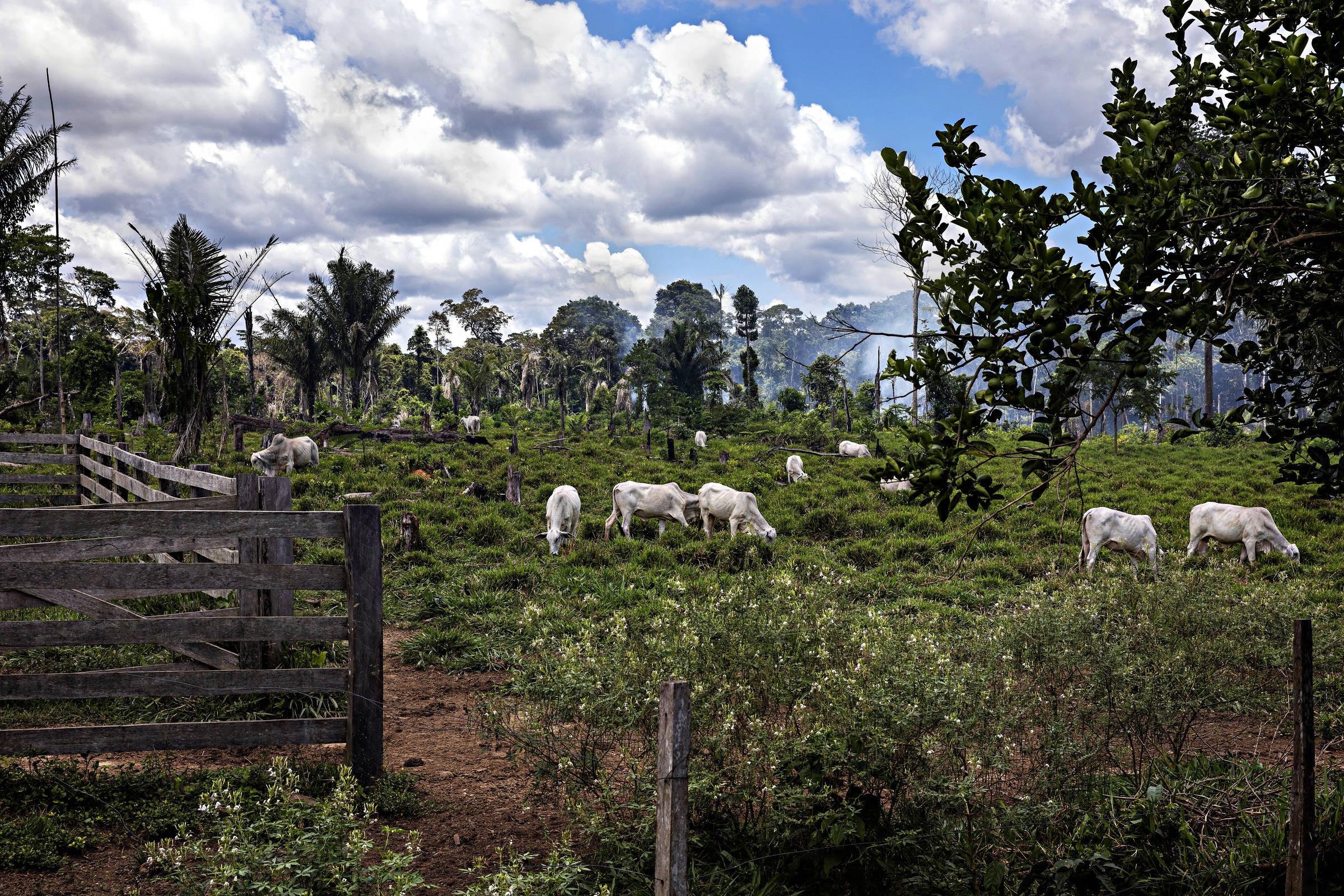 Gado pasta na terra do ex-seringueiro Francisco Diogo da Silva, que vê a pecuária como a alternativa econômica mais viável