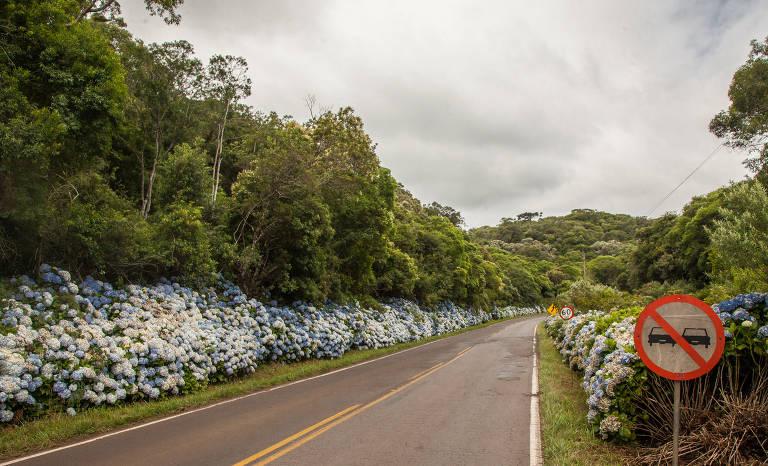 Hortênsias na estrada RS-020, que leva a São Francisco de Paula (RS)