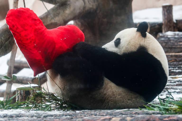 Panda brinca com coração em Moscou, no Dia de São Valentim; veja fotos de hoje