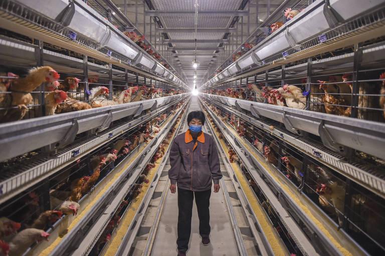 retrato centralizado em um trabalhador, que usa máscara de proteção no rosto; ao redor estão fileiras de galinhas