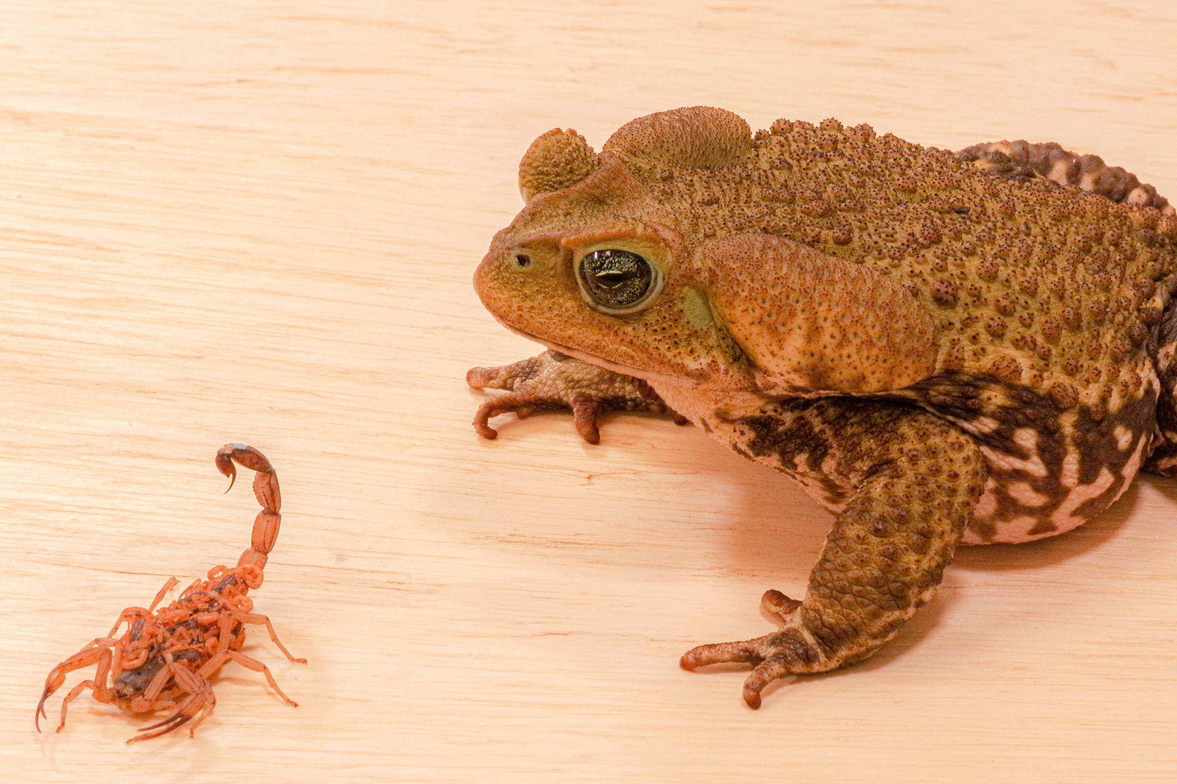 Cane toad can help fight yellow scorpion
