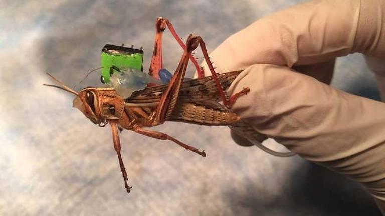 """Gafanhotos usados na pesquisa foram equipados com """"mochilas de sensores"""""""