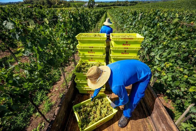 Entre robôs e tradição, cultura do vinho gira R$ 3 bilhões no RS