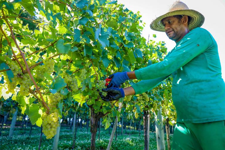 Em ambiente festivo, período de colheita da uva fomenta turismo no Rio Grande do Sul