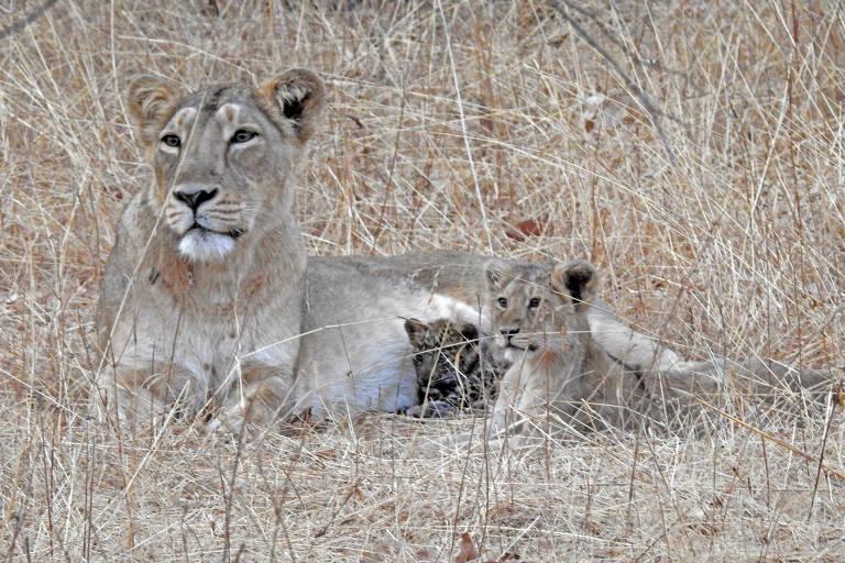Leoa com o leopardo e seu filhote no Parque Nacional Gir, em Gujarat, na Índia