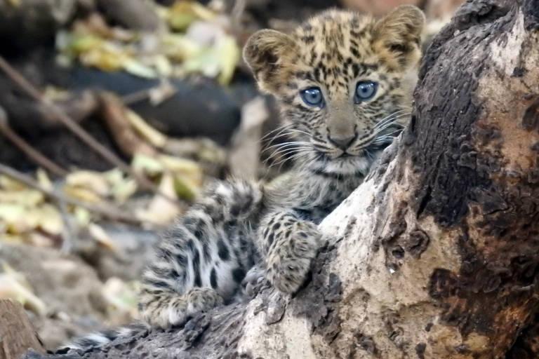 Filhote de leopardo adotado por leoa em parque na Índia