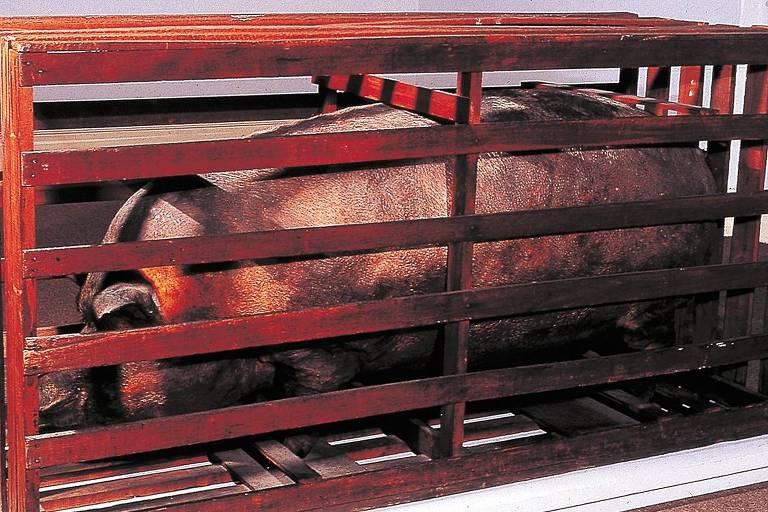 """""""Matéria e Forma, o Porco"""" (1966), obra de Nelson Leirner que apresenta um porco empalhado"""