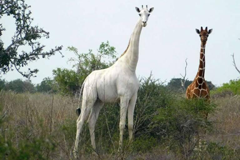 Girafa branca no Quênia