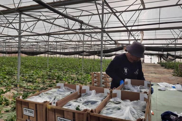 voluntário de chapeu e moletom preto coloca sacolas com verduras dentro de caixas. Ele está em uma plantação coberta.