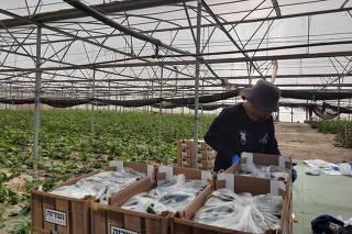 Voluntários trabalham na agricultura em Israel