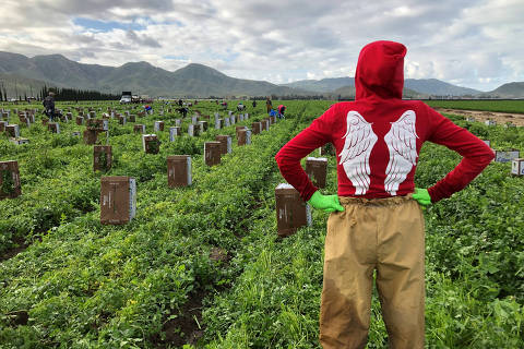 Farmworker Emperatriz Alfaro, 24, works in a field of cilantro during the global outbreak of coronavirus disease (COVID-19) in Oxnard, California, U.S., March 19, 2020.  REUTERS/Norma Galeana ORG XMIT: PPP-LAX02