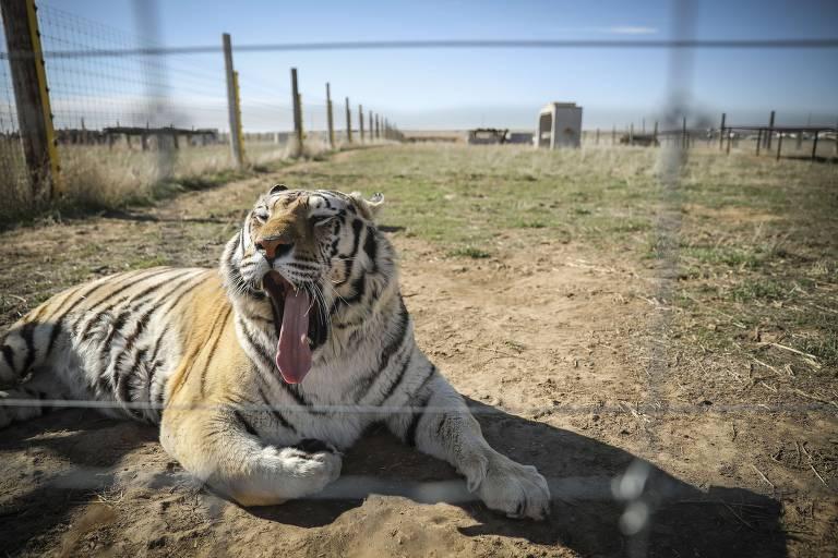'A Máfia dos Tigres' causa choque estético ao retratar mundo bizarro
