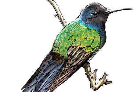 O Beija-flor-tesoura (Eupetomena macroura) é corajoso e briguento: não tem medo do ser humano Ilustração Ricardo Sanche Ilustração Ricardo Sanches