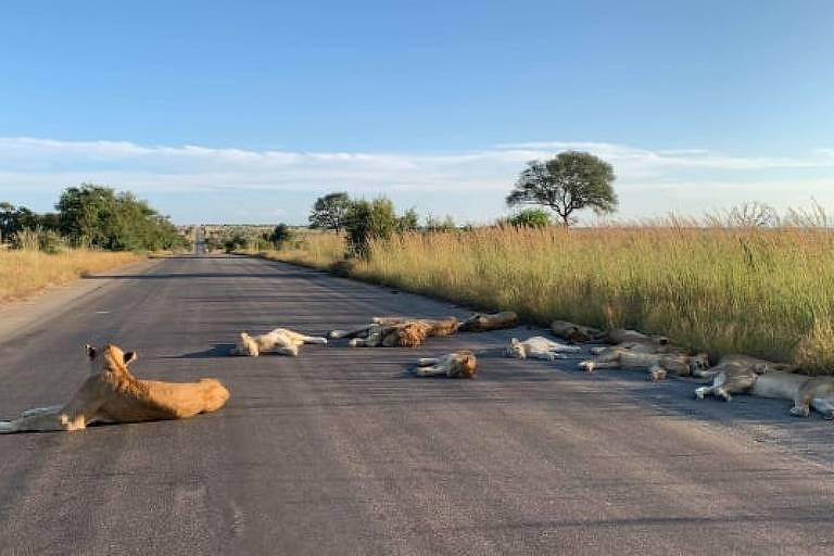 Leões invadem estrada na África do Sul após sumiço de turistas na região