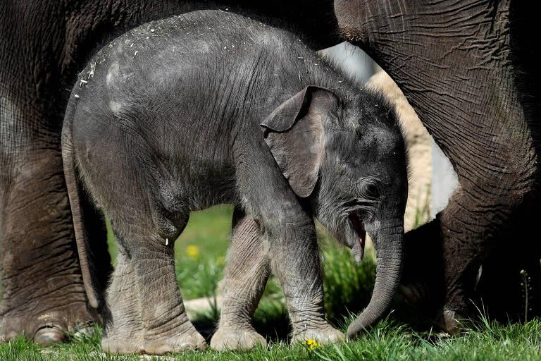 Bebê elefante passeia com a mãe em zoológico de Praga