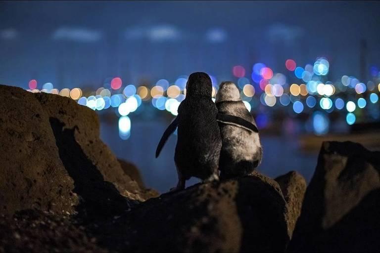 O consolo dos pinguins viúvos depois de perderem seus parceiros