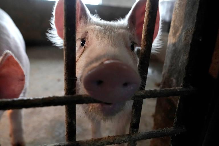 Chegada da peste suína africana nas Américas acende luz de alerta