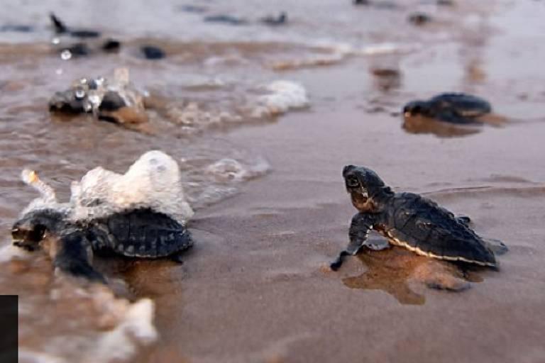 Coronavírus: milhões de tartarugas bebês aproveitam confinamento humano para chegar ao mar