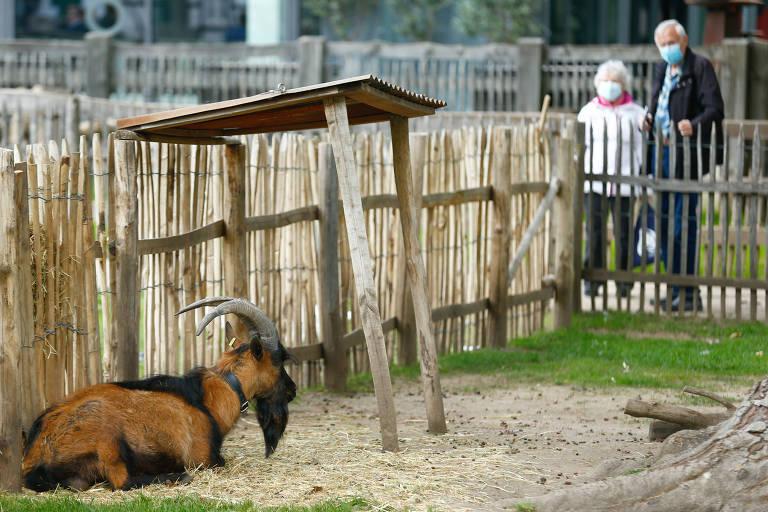 O bode Hennes, mascote do Colônia, também está em isolamento no zoológico da cidade e não poderá ir ao jogo de domingo, pelo Campeonato Alemão