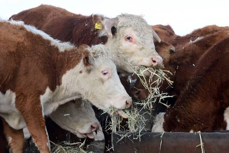 Vacas se alimentando em fazenda na Califórnia