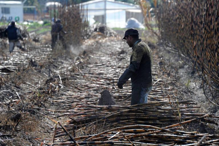 em campo de cana, há um trabalhador a direita da foto, com casaco e boné, e outros ao fundo. Eles recolhem a planta após ela ser queimada