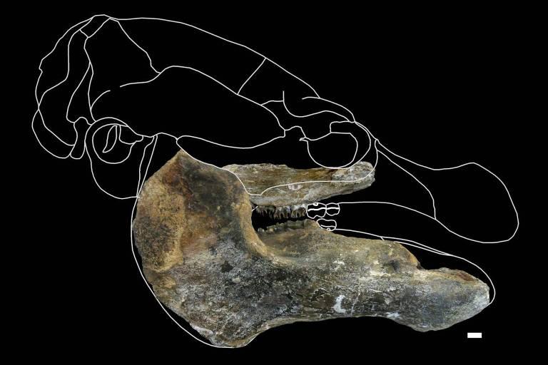 Montagem usa fóssil do Trichechus hesperamazonicus para reconstruir crânio da espécie