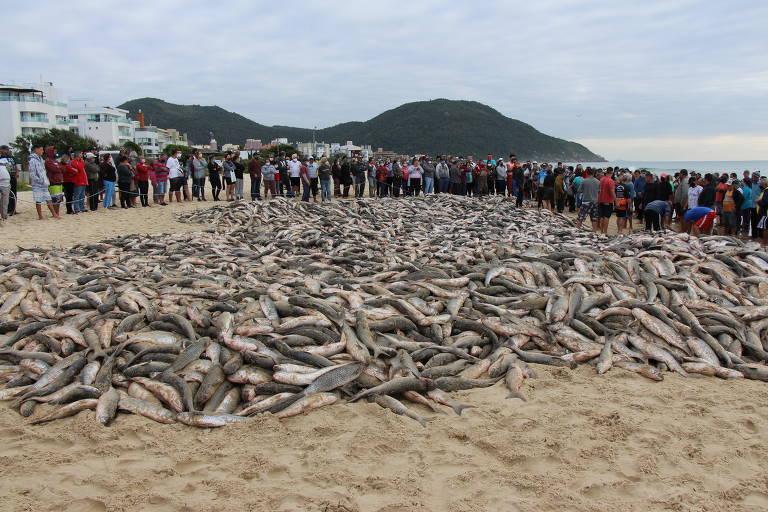 A Pesca da tainha em Santa Catarina