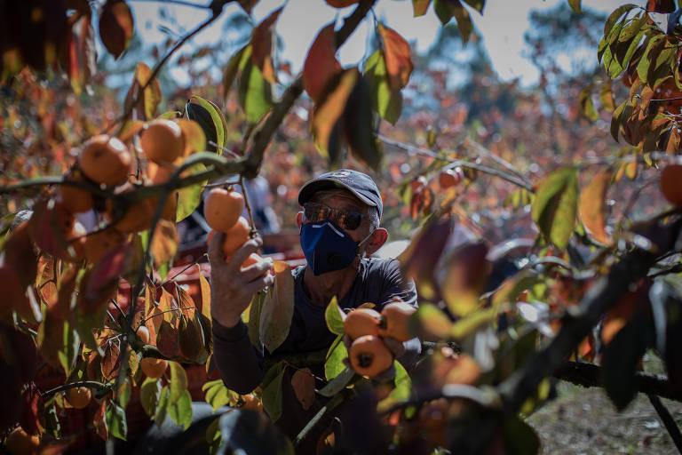 Ao colher as frutas, vão colocando-as nessa bolsa para evitar o desperdiço de tempo e energia.