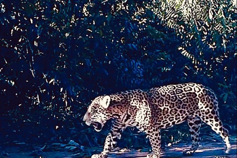 Imagem de uma onça pintada