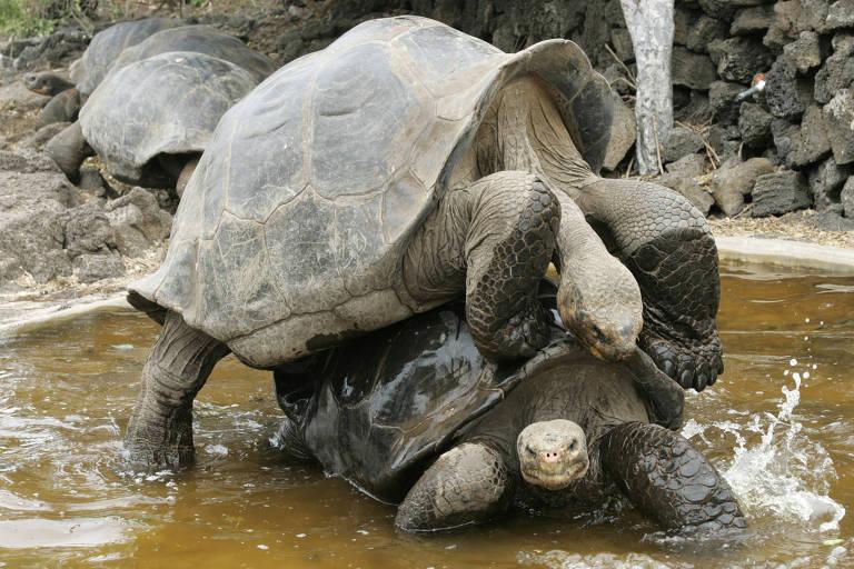 Tartarugas gigantes nas ilhas Galápagos