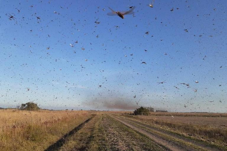 Nuvem de gafanhotos na área no distrito de Lanteri, na Argentina; avanço dos bichos coloca autoridades argentinas e brasileiras em alerta