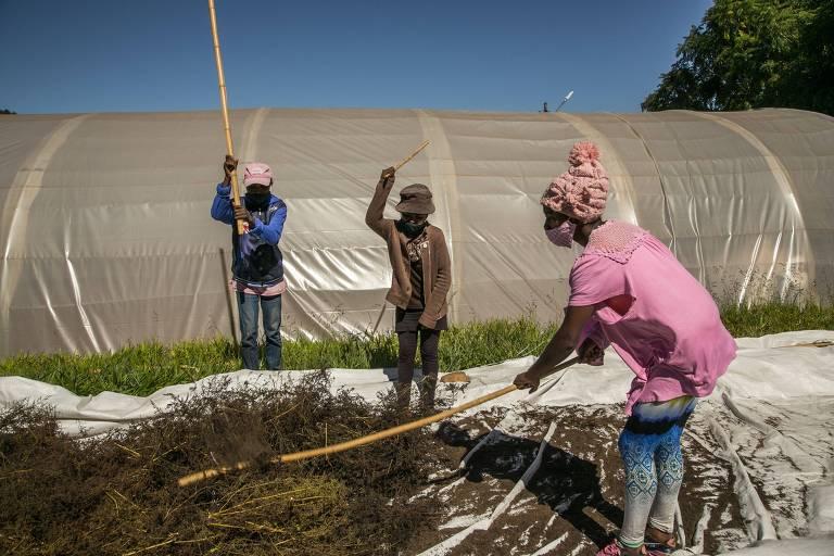 Trabalhadores em lavoura de artemísia da companhia Binoexx, em Faharetana, perto de Antananarivo, capital de Madagascar; presidente do país defende que bebida feita à base da planta é eficaz contra a Covid-19