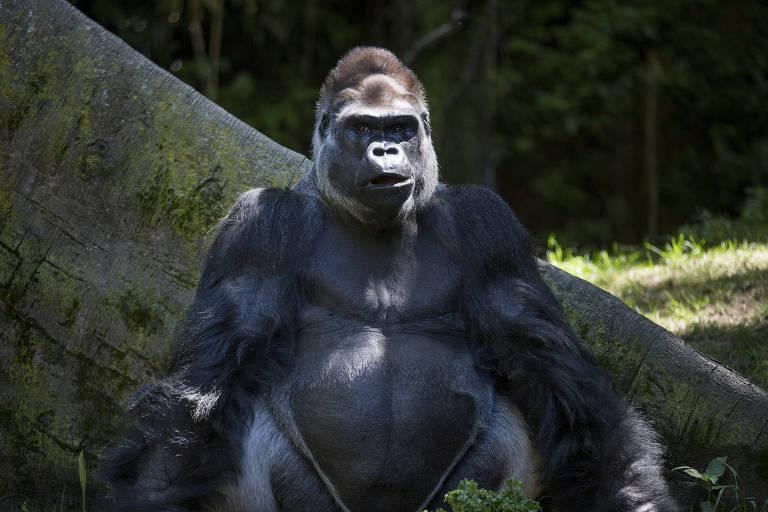 Ernie, o patriarca prateado de uma tropa de gorilas, no zoológico do Bronx em Nova York