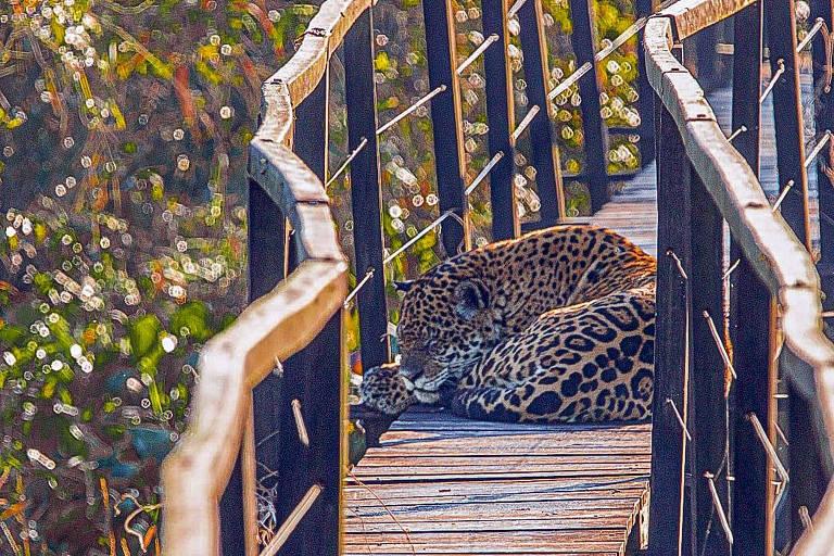 Onças-pintadas se apropriam de passarelas no Pantanal