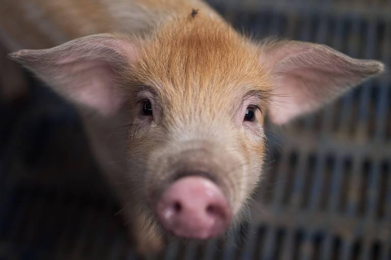 Porco em fazenda perto de Pequim, na China; cientistas do país monitoram animais