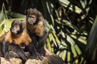 Macacos-prego-do-peito-amarelo no zoológico de São Paulo