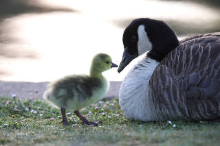 A gosling and a goose are seen in Verulamium Park
