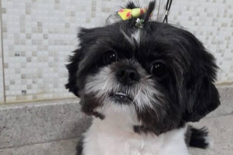 A cachorra Brigite, com pelagem em preto e branco e lacinho na cabeça