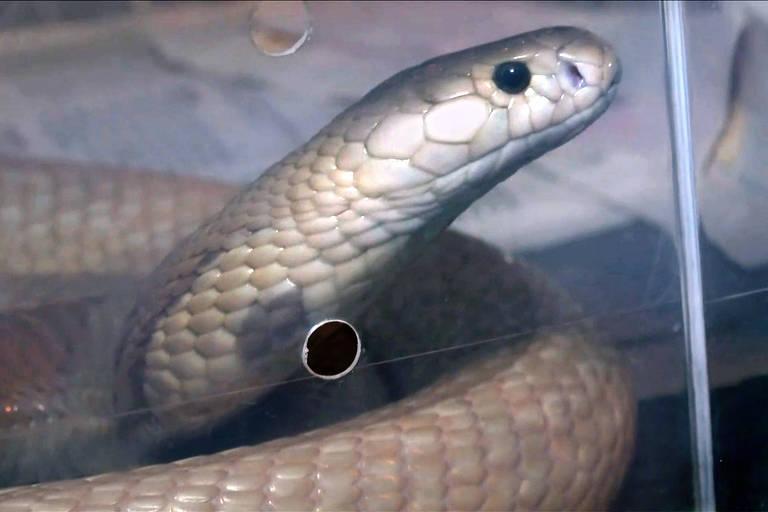 Cobra da espécie Naja que picou um estudante de veterinária