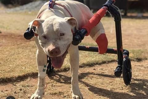 Cachorro Sansão tem patas decepadas em Confins (MG); crime provoca reações