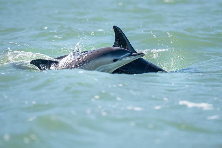 Com melhora na qualidade da água, golfinhos estão de volta ao rio Tejo, em Lisboa